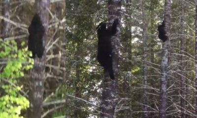 bear super fast climbing a tree