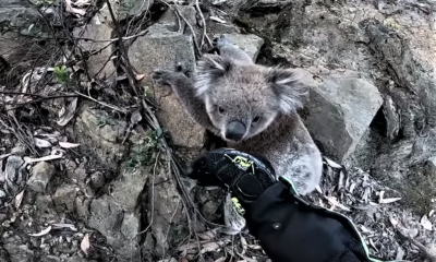 Helping a Cute Koala on its Climb