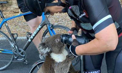cyclist-koala-drink-water