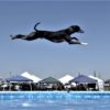 dog jump record-breaking